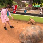 【画像】日テレ・佐藤真知子さん、亀さんの営みを目の当たりにして「!」「何をしているんだろう?」🐢🐢💕